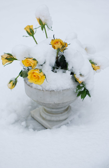 Flowers in the Snow, Watford, Dec 17