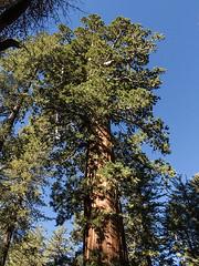 69 Sequoia Tuolumne Grove b10443n