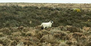20170329-56_Sheep_North York Moors