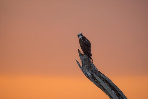 osprey bird perch sunrise nature wildlife weatheredwood stump mudlake armandbayou pasadena texas kayakphotography gseloff
