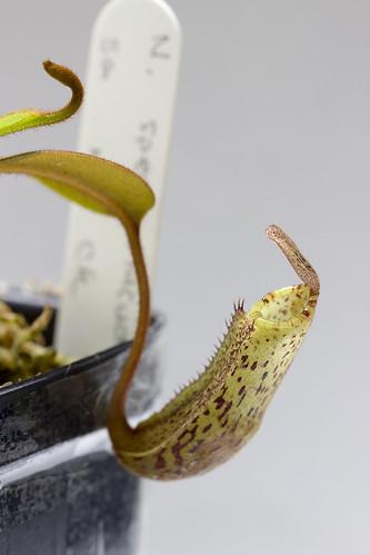 Nepenthes vogelii Murud