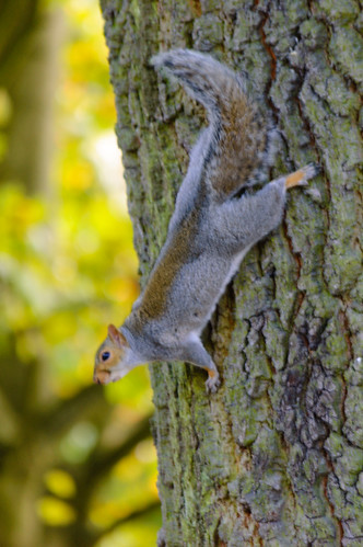 Poised for action: squirrel, West Park