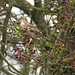 Mistle Thrush - Turdus viscivorus.