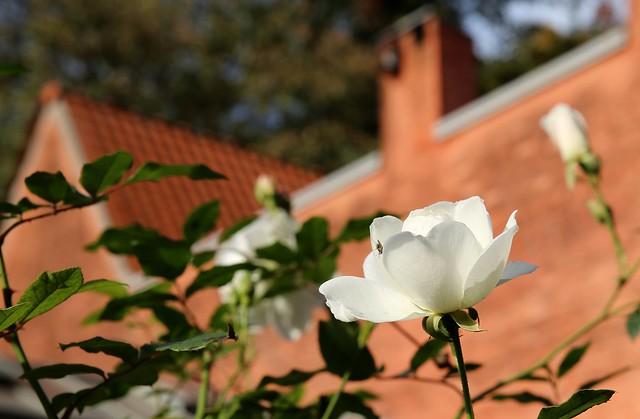De verzonken tuin en haar prachtige witte rozen
