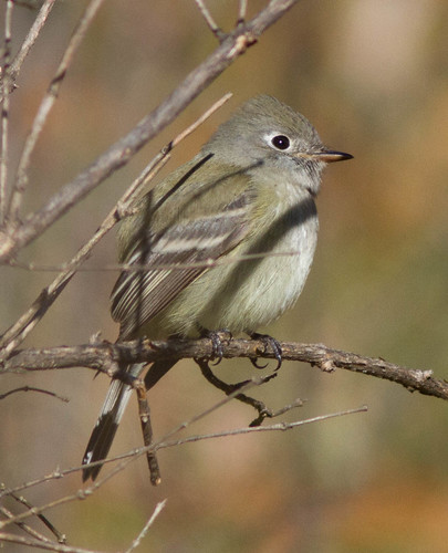 Hammond's Flycatcher!