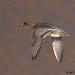 wigeon 27 2017 female in flight
