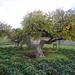 Lesnes Park Mulberry Tree