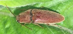 Click beetle (Melanotus sp.); Mount Rainier, PGC, Maryland; May 26, 2015