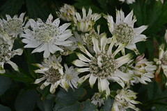 ASTRANTIA 'Whirling Dervish'