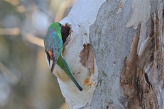 Red - rumped Parrot