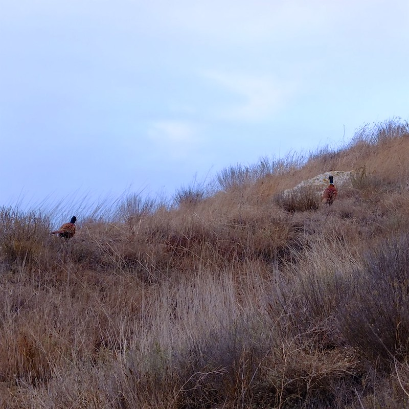 Керчь, фазаны - 3
