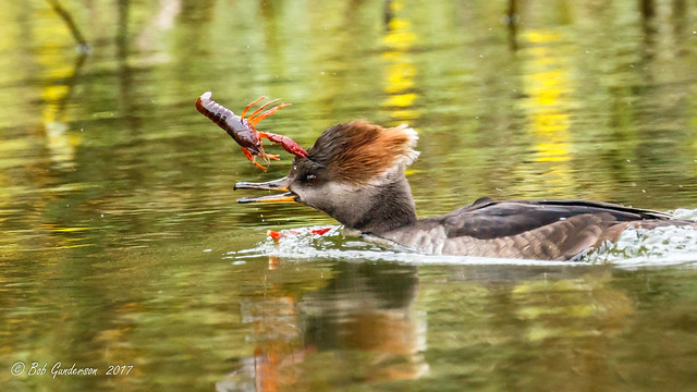 This Hooded Merganser has succeeded in snapping off a claw