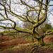 Creepy tree - Tarn Hows - Lake District - Cumbria