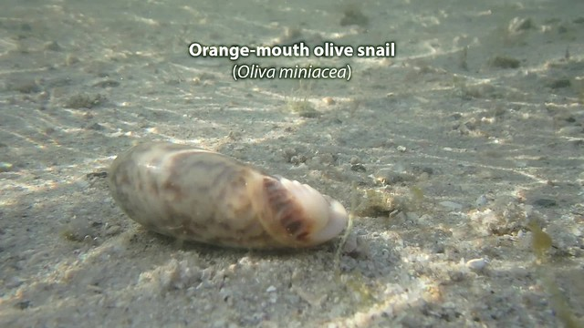 Orange-mouth olive snail (Oliva miniacea)