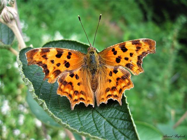 Butterfly 1522