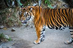 Sumatran Tiger - Los Angeles Zoo