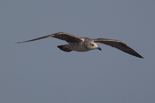 Yellow-legged Gull - first winter in flight