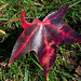 Small photo of Liquidambar styraciflua (American Sweet Gum)