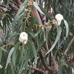 Eucalyptus globulus leaves and flowers