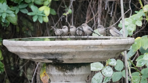 Bushtits at the birdbath