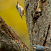 Pair of nuthatches