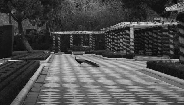 los pavos reales del parque retiro, Madrid (2017)