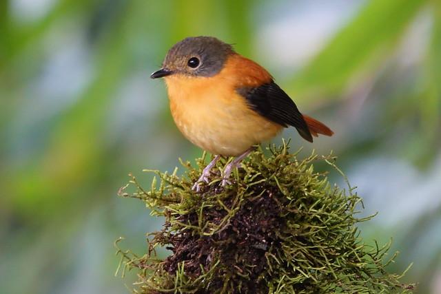 Black-and-orange flycatcher female