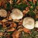 Fungus group: 15.11.17.