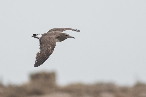 Sooty Gull in flight