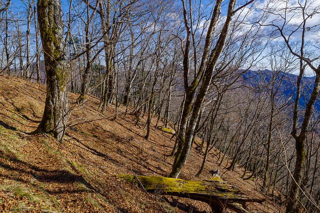 綺麗な樹林茂る長沢背稜を行く