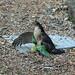 IMG_3406 Sparrowhawk & Parakeet