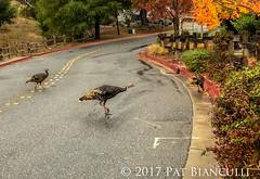 2017- Thanksgiving Wild Turkeys-2089