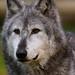 Grey Wolf ♂ - IB260987
