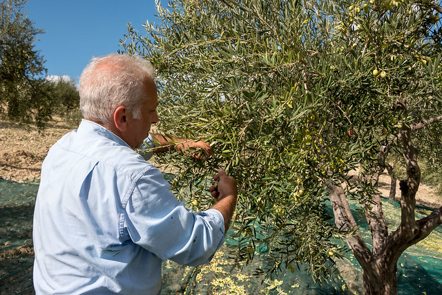 Harvesting olives by hand.