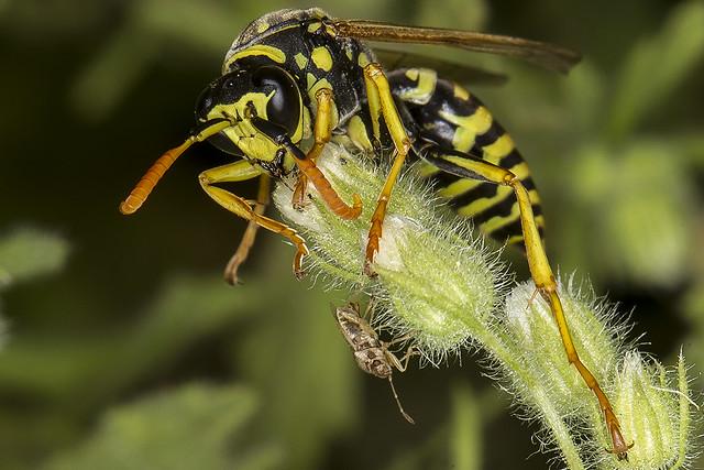 311/365  Potter Wasp?
