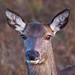 Red Deer Hind Portrait BP 8th Nov 2017