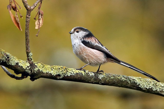 A Long-tailed Tit against an Autumn background. (Aegithalos caudatus).
