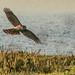 Hunting sparrowhawk (f)