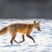 Red tailed fox by Nature as Art Photography