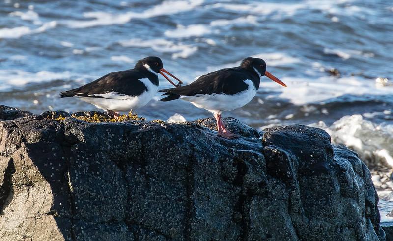oystercatchers 139a_331