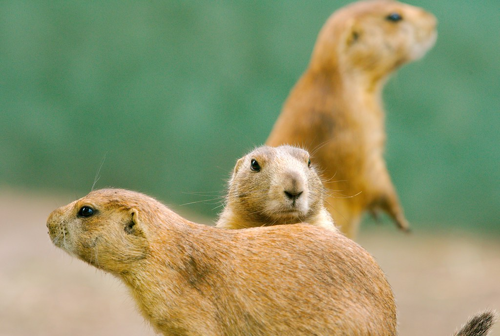 Prairie Dog_11