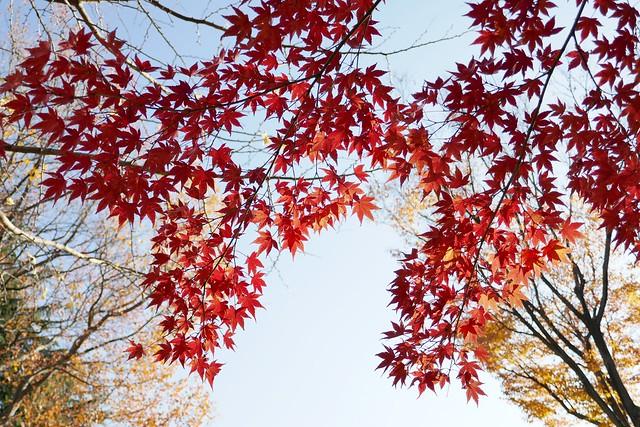 Kita-Urawa Park_Maple_edited_1 紅葉した楓の枝葉の写真。 紅色に染まっている。