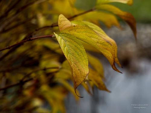 Weigelia in Herbstfarben