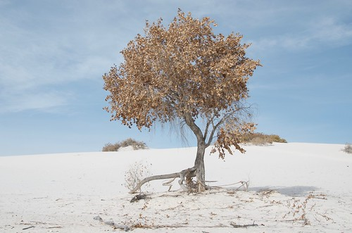 White Sands lone tree
