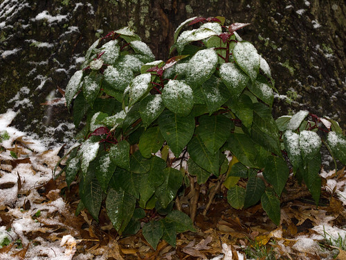 Snow on the Poinsettia
