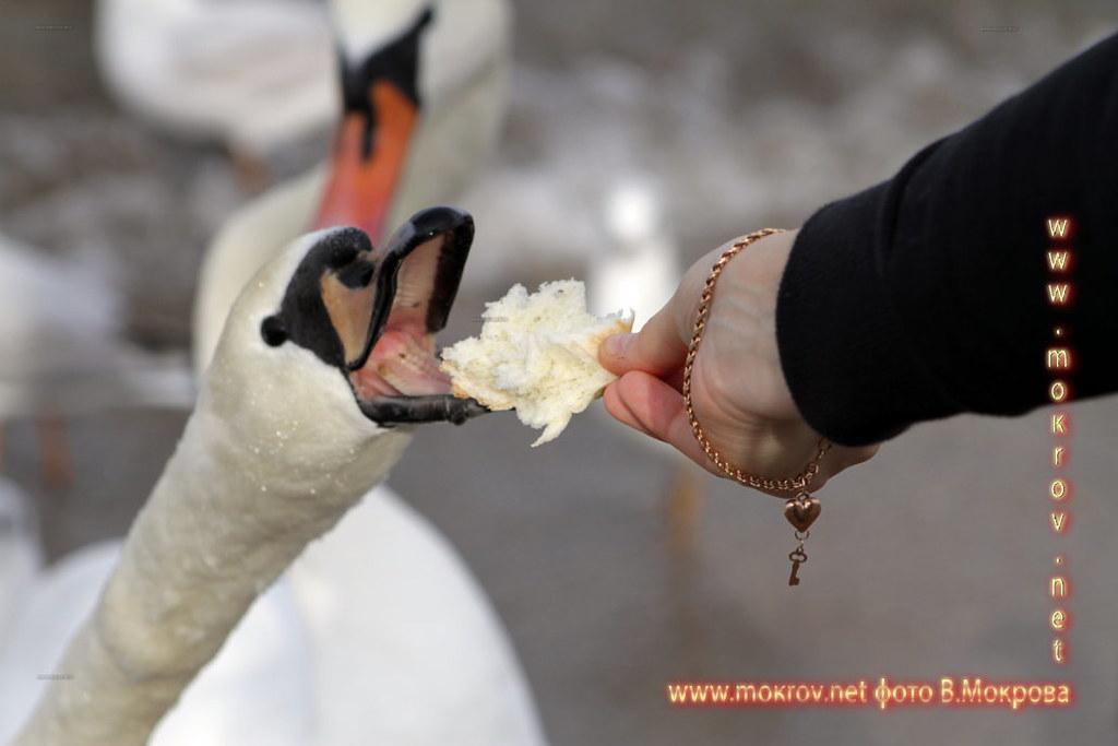 Город Анапа фотографий кормление Лебедй.