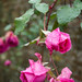 20171118-10_Late Flowering Roses - Baddesley Clinton