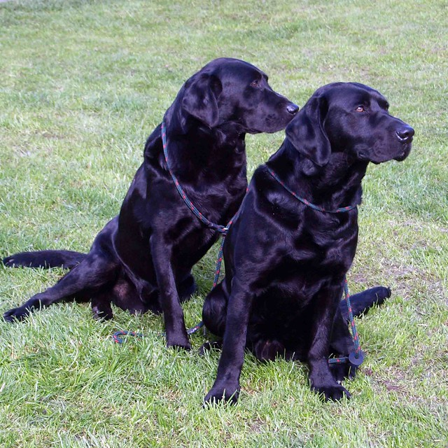 Black Labs Father and son5200
