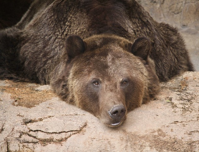 Ronan the Grizzly. Reid Park Zoo. Tucson.
