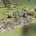 Small photo of Juvenile American Alligators (Alligator mississippiensis)